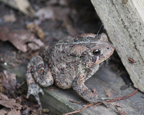 Toad in my garden