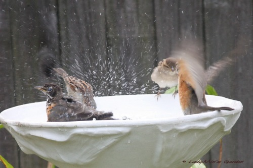 Robins Splashing