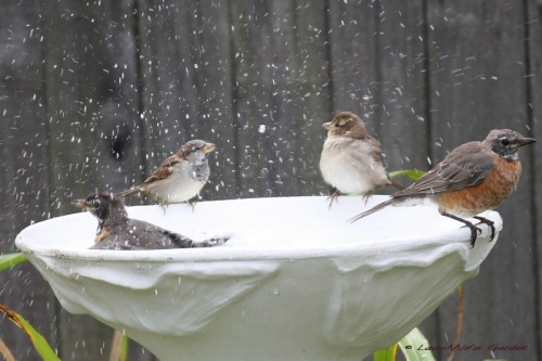 Splashing Robins