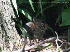 Baby Bunny - 2 Weeks