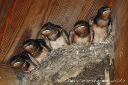 Barn Swallow Nestlings