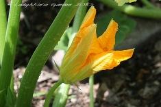 Male zucchini flower