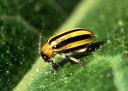 Cucumber Beetle (Image: Public Domain)