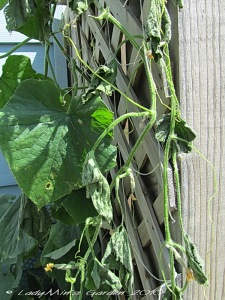 Wilted Cucumber Plants